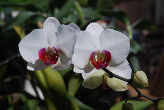 Phalenopsis orkide