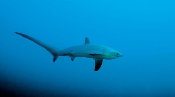 Thresher Shark ! – En uforglemmelig oplevelse