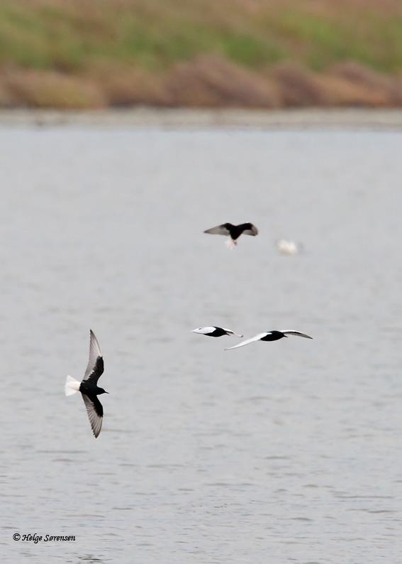 Sådan så vi de Hvidvingede Terner. Billedet er dog fra Lesbos. Foto: Helge Sørensen