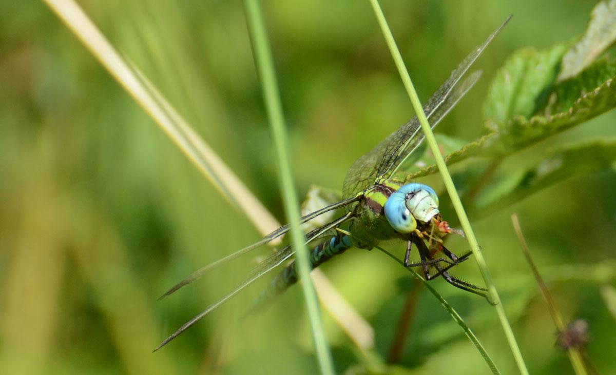 Grøn Mosaikguldsmed, han der spiser en flue eller lignende